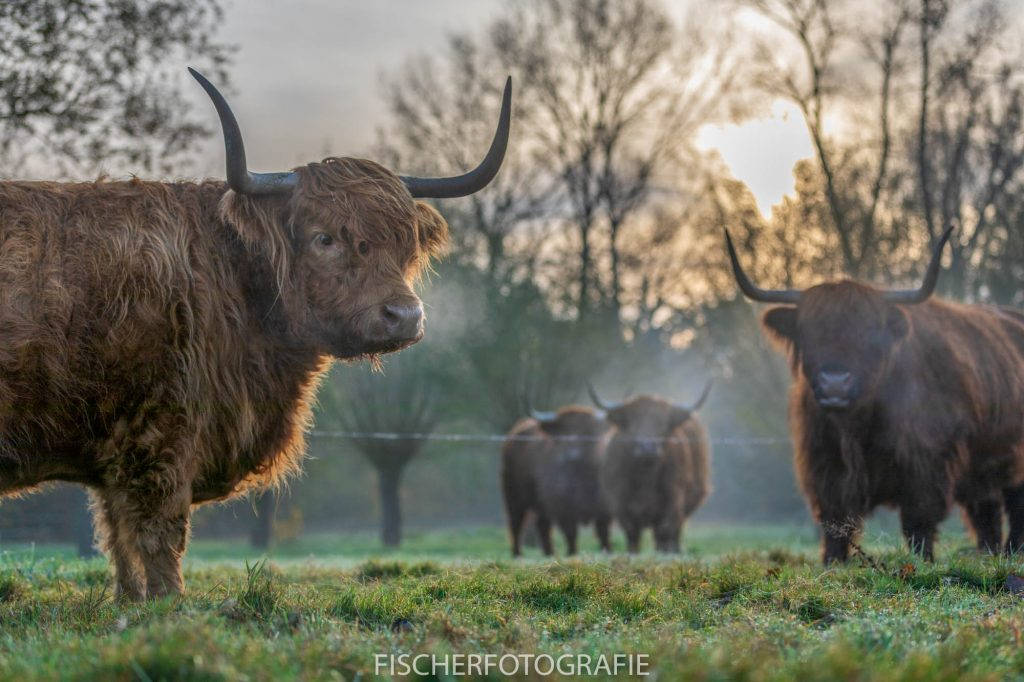 Scottish Highland cows in the mist.